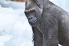 Gorila en nieve Foto de archivo libre de regalías
