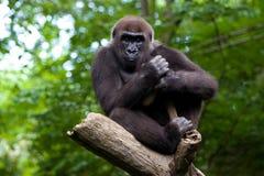 Gorila en un árbol imagen de archivo