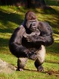 Gorila ereto do Silverback fotografia de stock
