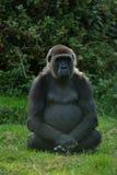 Gorila femenino Imágenes de archivo libres de regalías
