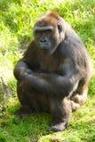 Gorila femenino Fotos de archivo