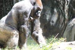 Gorila grande Imagen de archivo