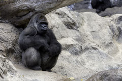 Gorila grande Foto de archivo