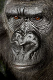 Gorila joven de Silverback foto de archivo libre de regalías