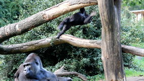 Gorila joven el revolver almacen de metraje de vídeo