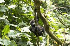 Gorila lindo del bebé que sube para arriba un árbol Imagen de archivo