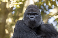 Gorila masculino Fotografía de archivo libre de regalías