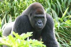 Gorila masculino Imagen de archivo libre de regalías