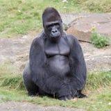 Gorila masculino apoyado plata Imagenes de archivo