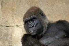 Gorila masculino de la parte posterior de la plata de la tierra baja occidental Fotografía de archivo