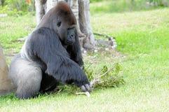 Gorila masculino de la tierra baja Imagen de archivo libre de regalías