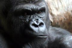 Gorila masculino enojado Fotografía de archivo libre de regalías