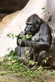 Gorila nížinná, Zoologická zahrada, Troja, Praha, Česká re. Threatened western gorilla, zoological garden, Troja district, Prague, Czech royalty free stock image