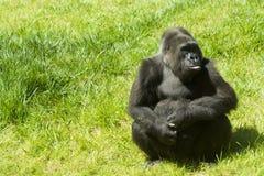 Gorila na grama imagem de stock
