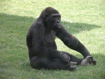 Gorila na grama fotografia de stock royalty free