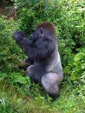 Gorila na madeira Fotos de Stock