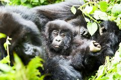Gorila na reserva de Virunga, Ruanda imagens de stock