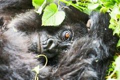 Gorila na reserva de Virunga, Ruanda fotografia de stock
