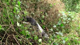 Gorila negro grande que desaparece en el arbusto almacen de video