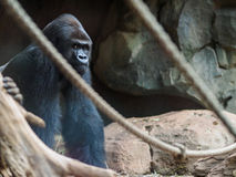 Gorila no jardim zoológico fotografia de stock royalty free