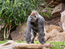 Gorila no parque de Loro do jardim zoológico Fotografia de Stock