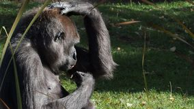 Gorila occidental almacen de metraje de vídeo