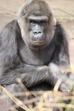 Gorila occidental Fotografía de archivo
