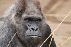 Gorila occidental Foto de archivo libre de regalías