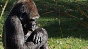 Gorila occidental del gorila del gorila almacen de metraje de vídeo