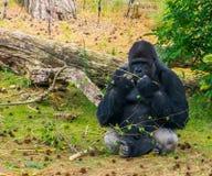 Gorila occidental occidental en el primer que mastica una rama de árbol, especie animal críticamente en peligro de África foto de archivo
