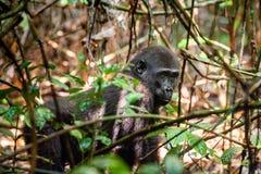 Gorila occidental occidental juvenil imagen de archivo