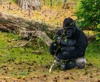 Gorila occidental occidental que come de una rama de árbol, especie críticamente en peligro del primate de África foto de archivo libre de regalías