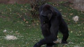 Gorila occidental que come las hojas almacen de metraje de vídeo