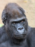 Gorila ocidental masculino foto de stock