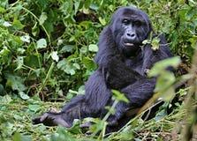Gorila oriental na beleza da selva africana Imagens de Stock