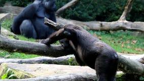 Gorila penetrante almacen de video