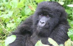 Gorila pensativo Foto de archivo