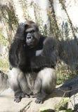 Gorila pensativo imagem de stock