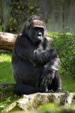 Gorila pensativo Imagens de Stock Royalty Free
