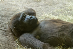 Gorila pensativo que se relaja Fotografía de archivo