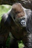 Gorila posterior de la plata Foto de archivo