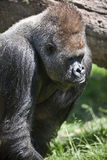 Gorila posterior de la plata Fotografía de archivo