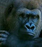 Gorila profundo de los pensamientos imagen de archivo