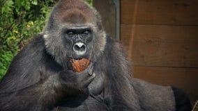 Gorila que come el coco en el parque zoológico almacen de video