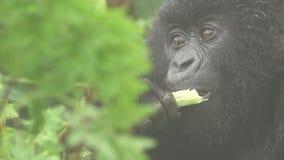 Gorila que come en color plano metrajes