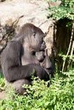 Gorila que consola o bebê imagens de stock