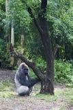 Gorila que juega con el árbol Foto de archivo