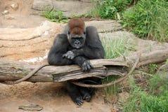 Gorila que pone mala cara Imagenes de archivo