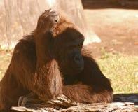 Gorila que rasguña la cabeza Foto de archivo libre de regalías