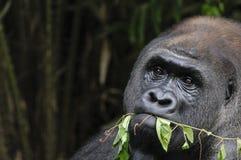 Gorila que tira de la planta Fotos de archivo